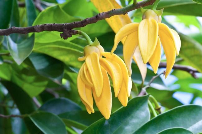 Hoa hoàng lan có hình dáng và màu sắc khá độc đáo