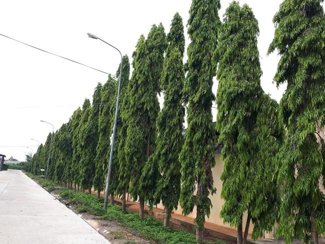 Hoàng nam thườn được trồng cảnh ở những nơi công cộng