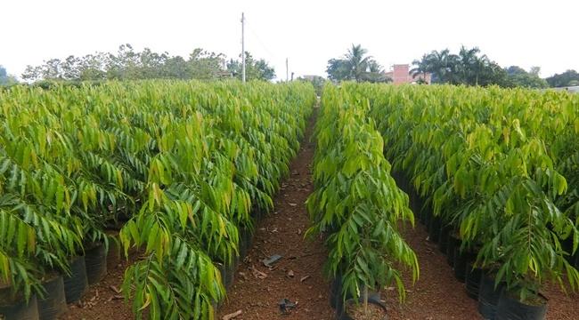 Khi cây đạt kích thước thì có thể trồng ra đất