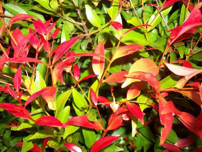 Điểm đặc biệt của cây hồng lộc nằm ở màu sắc lá non