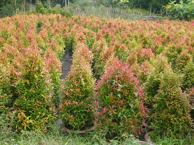 Trồng cây hồng lộc bằng phương pháp giâm cành hoặc chiết cành