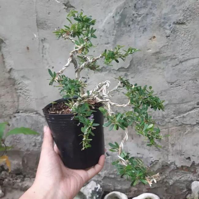 Nên tạo dáng cho cây từ sớm