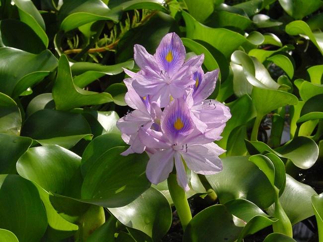 Hoa lục bình có màu tím khá bắt mắt