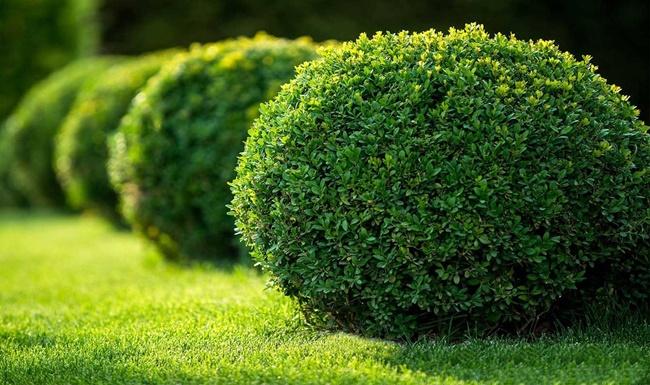 Ngâu được trồng cảnh tại nhiều khu vực công cộng