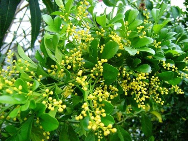 Hoa ngâu nở thành từng chùm nhỏ màu vàng