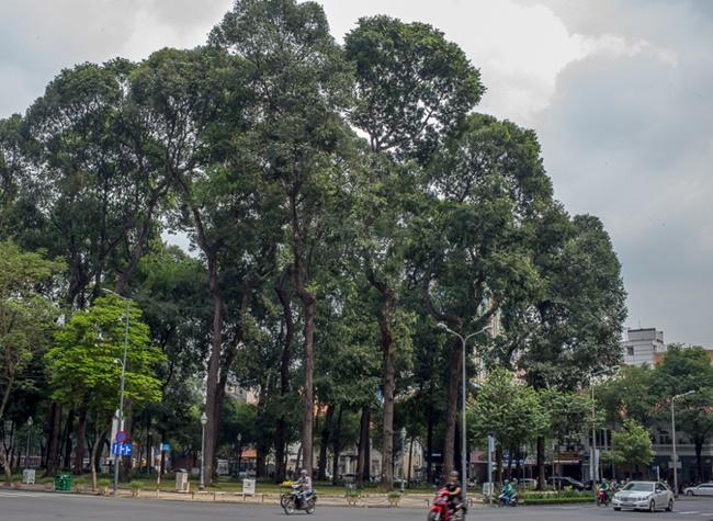 Trong điều kiện phù hợp, cây có kích thước khá lớn