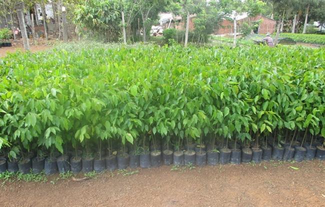 Khi cây trong bầu đạt kích thước, có thể xé bầu và trồng ra đất