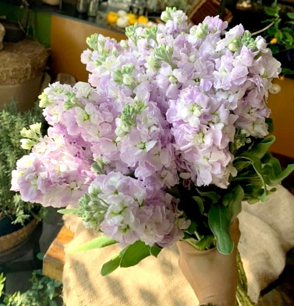 Hoa phi yến thường được các cô dâu chọn làm hoa cưới