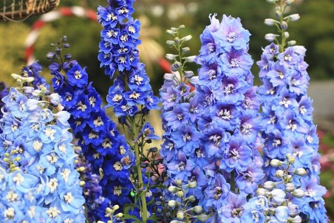 Phi yến là loài hoa có màu sắc khá đa dạng