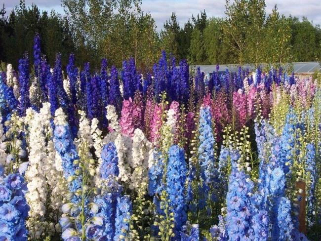 Mỗi màu hoa lại mang một ý nghĩa khác nhau