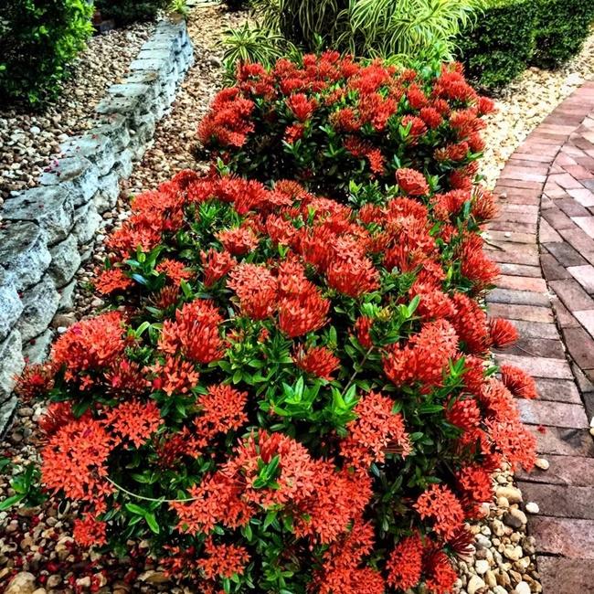 Bông trang được trồng làm cảnh ở nhiều khu vực