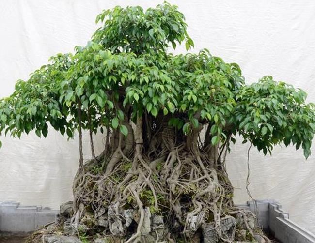 Cây sanh có nhiều rễ đâm thẳng từ thân cành xuống đất