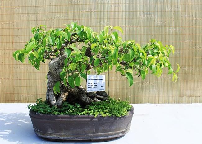 Bạn có thể trồng cây từ hạt hoặc giâm cành