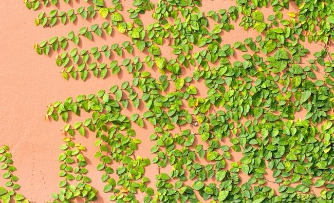 Cây được dùng để phủ xanh bờ tường, hàng rào