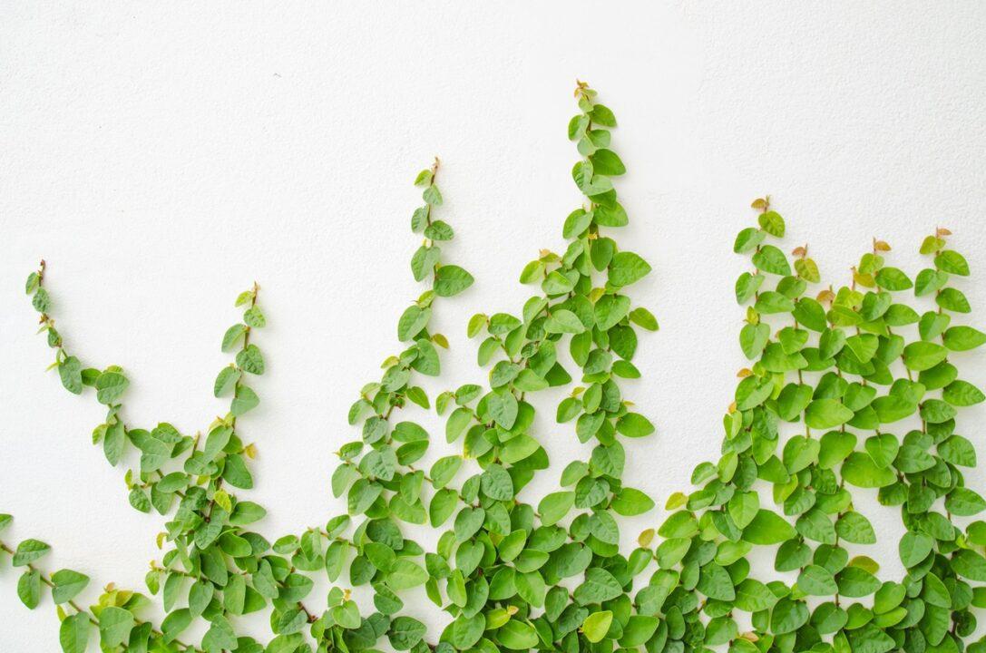 Cây thằn lằn hay còn gọi là cây vẩy ốc