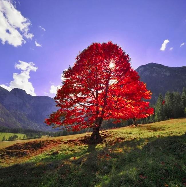 Nhu cầu dinh dưỡng của cây phong lá đỏ không cao