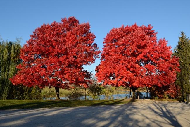 Phong lá đỏ luôn là địa điểm thu hút khách du lịch