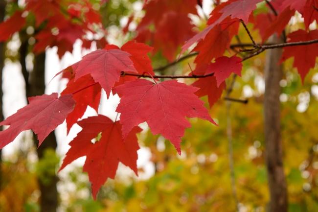 Lá cây có màu đỏ rực đẹp mắt