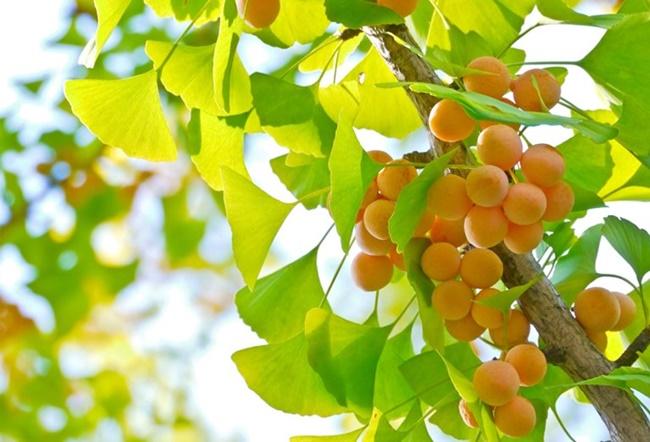 Hạt và lá cây đều mang lại nhiều tác dụng