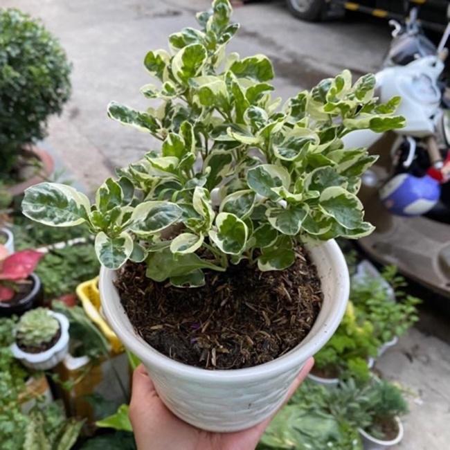 Cây cẩm thạch trồng cảnh trong chậu