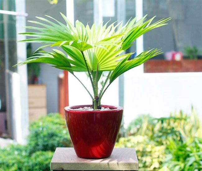 Cây thường được trồng bằng cách gieo hạt