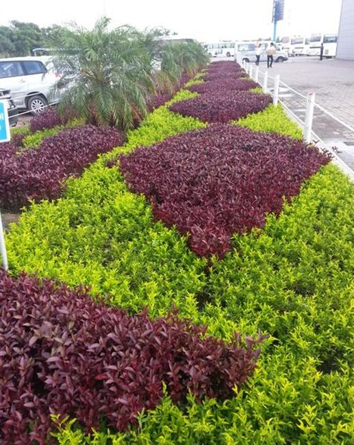 Cây được trồng cảnh ở nhiều khu vực công cộng