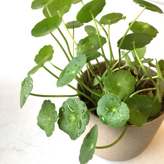 Cỏ đồng tiền được trồng làm cảnh trong chậu nhỏ