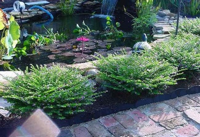Cây được trồng làm cảnh dọc sân vườn