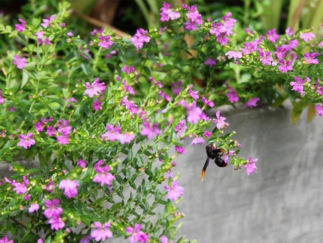 Hoa cẩm tú mai có màu tím bắt mắt
