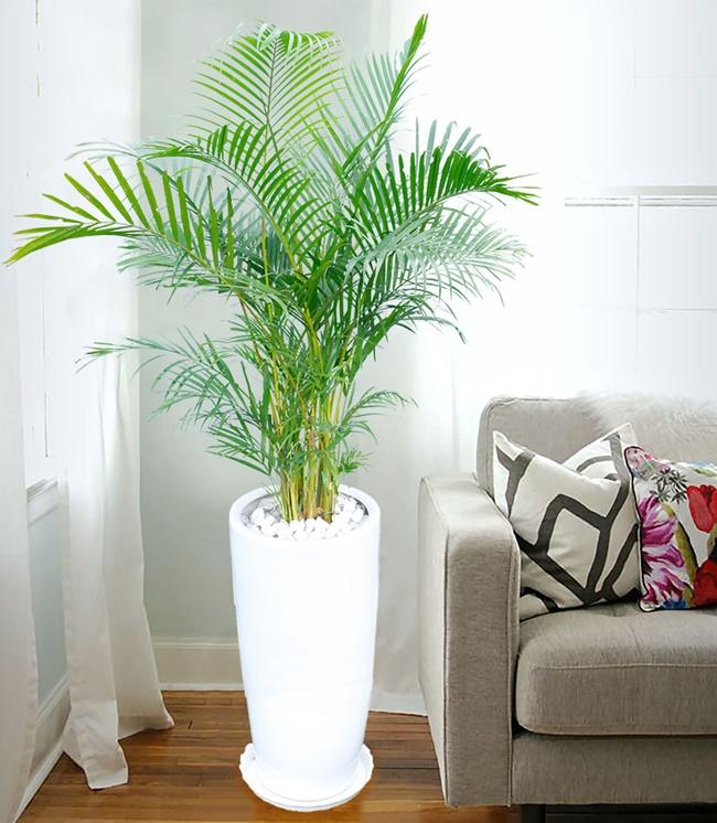 Cau cảnh có thể trồng ở trong nhà hoặc ngoài trời