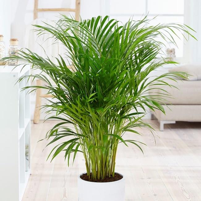 Dừa cảnh có thể trồng làm cảnh cả trong nhà và ngoài trời