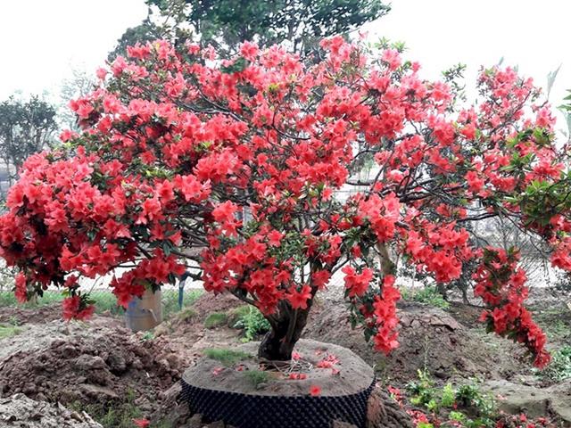 Bón thêm phân khi cây sắp ra hoa