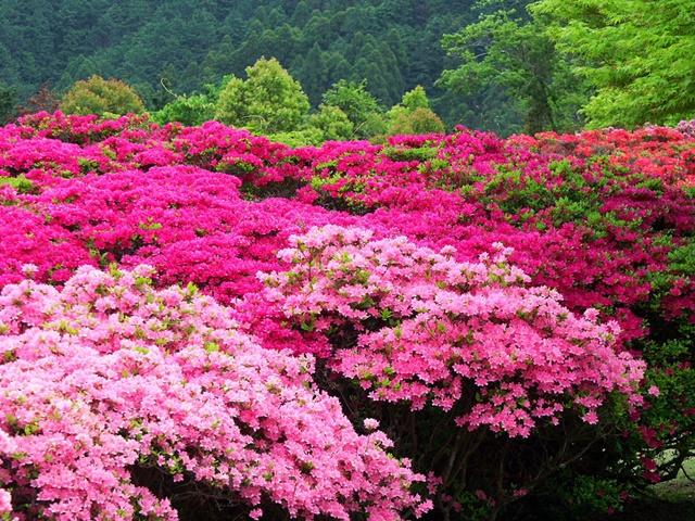 Đỗ quyên có hoa đa dạng về hình dáng, màu sắc