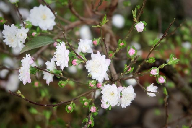 Hoa nhất chi mai có màu trắng đẹp mắt