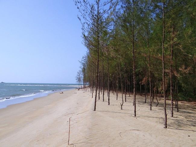 Cây phi lao được trồng chắn gió dọc bờ biển