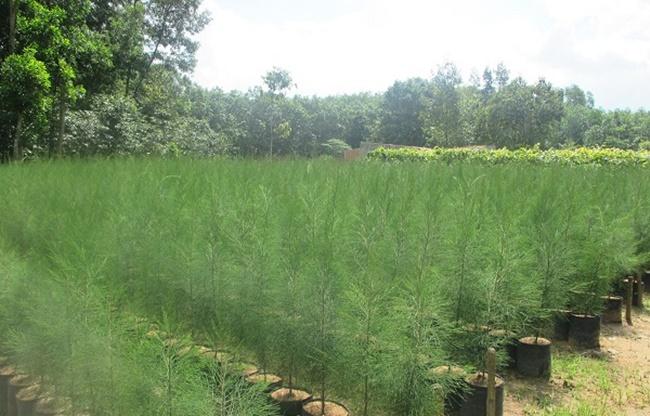 Khi cây đạt kích cỡ thì có thể trồng ra đất