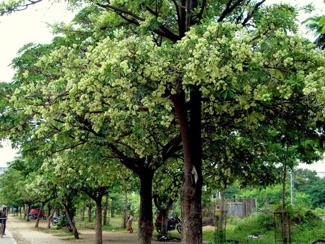 Cây được trồng làm cảnh dọc đường
