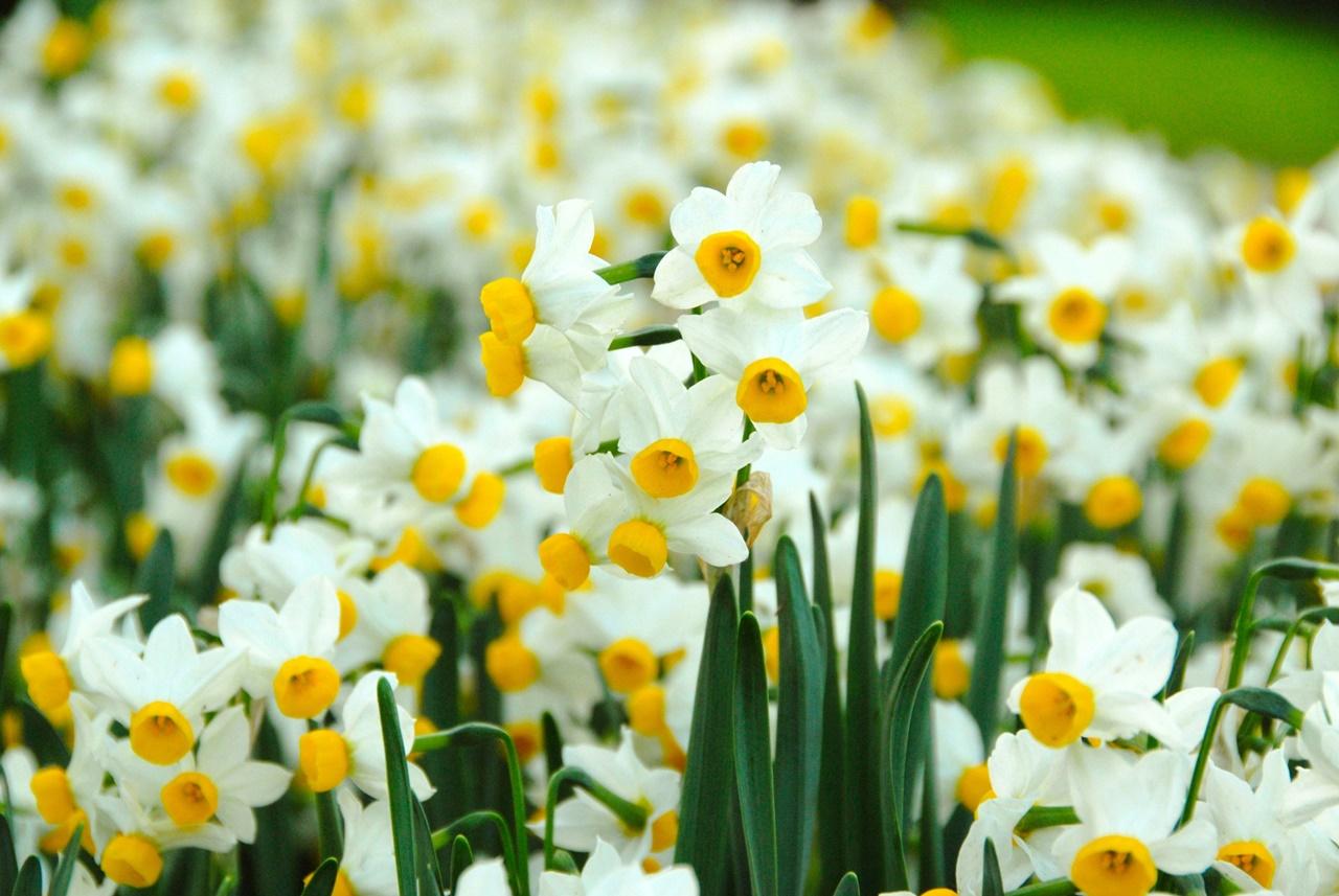 Cây hoa thủy tiên
