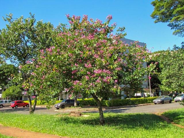 Cây móng bò được trồng làm cảnh ở các khu vực công cộng