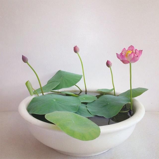 Sen Nhật được ưa chuộng trồng làm cảnh
