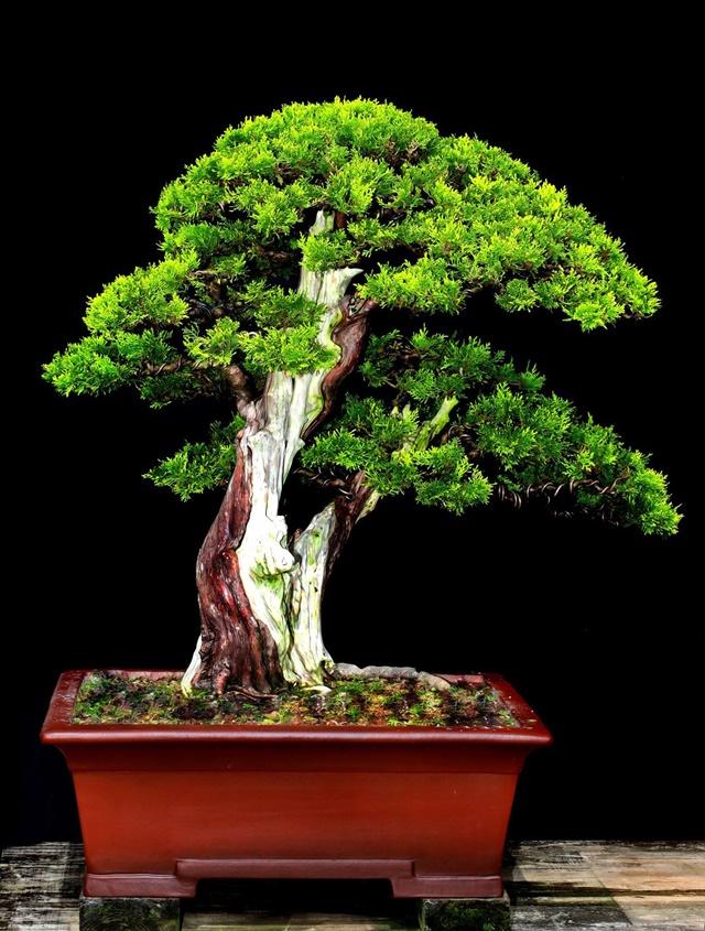 Cây trắc bách diệp được tạo dáng bonsai