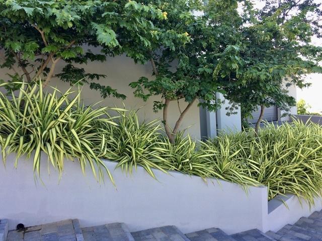 Cây dứa vạn phát được trồng trang trí khuôn viên