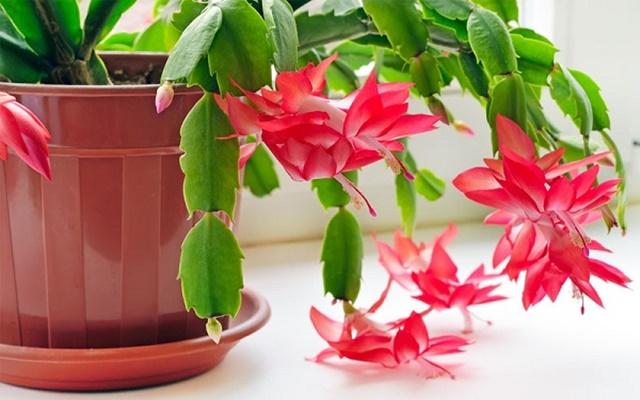Hoa càng cua trồng trong chậu cảnh
