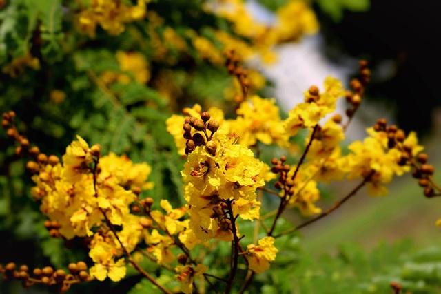 Cây điệp vàng tỏa sắc rực rỡ