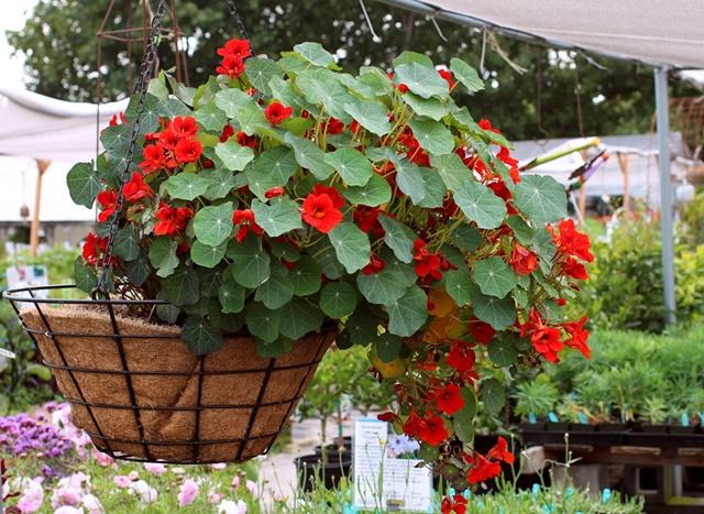 Sen cạn được trồng như một loài cây cảnh