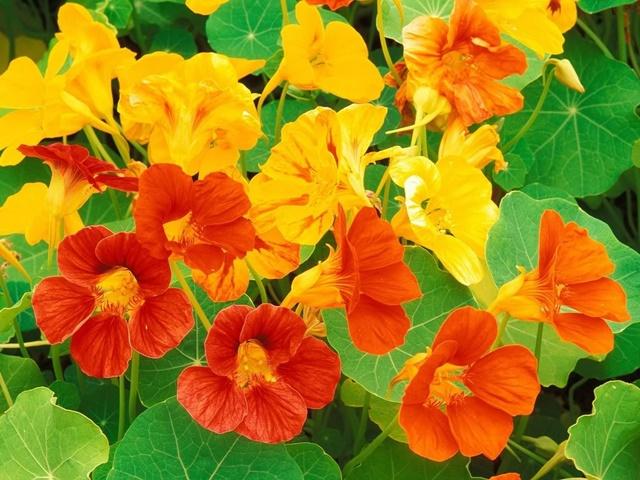 Hoa sen cạn khá đa dạng về màu sắc