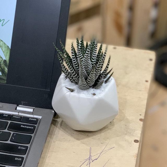 Cây được ưa chuộng trang trí bàn làm việc