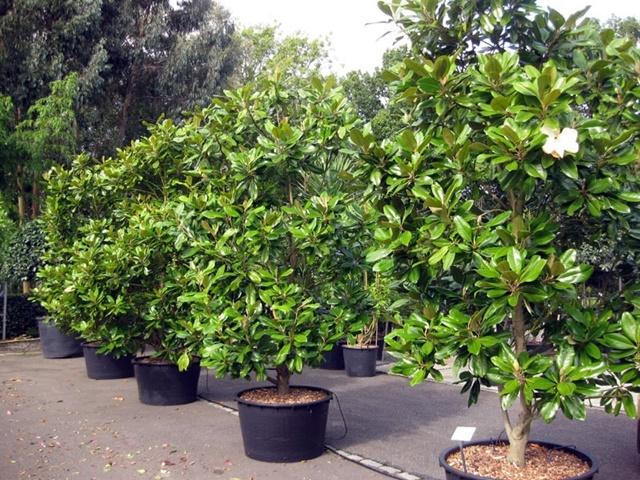 Cây thường được trồng cảnh ở những nơi công cộng
