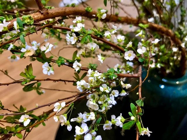 Hoa và lá tuyết mai nhỏ nhưng mọc dày