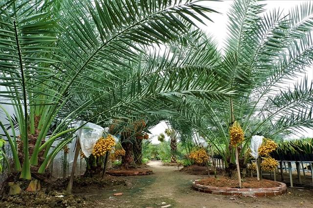 Cây chà là vừa trồng cảnh vừa mang lại kinh tế